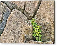 Plant In Granite Crevice Abstract Acrylic Print