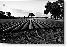Planted Fields Acrylic Print by David Lee Thompson