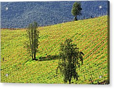 Planting A Vineyard Acrylic Print by Fernando Lopez Lago
