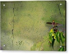 Plate 087 - Hummingbird Grunge Series Acrylic Print