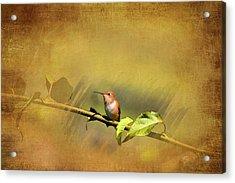 Plate 112 - Hummingbird Grunge Series Acrylic Print