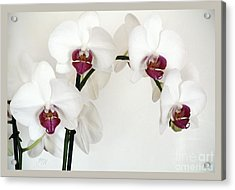 Platnum Beauty Orchids Acrylic Print by Marsha Heiken