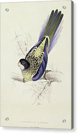 Platycercus Brownii, Or Browns Parakeet Acrylic Print by Edward Lear