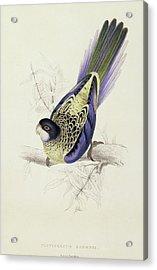 Platycercus Brownii, Or Browns Parakeet Acrylic Print