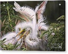 Playful Egret Chicks Acrylic Print