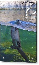 Playful Otter Acrylic Print by Kat Besthorn
