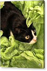Playful Tuxedo Kitty In Green Tissue Paper Acrylic Print