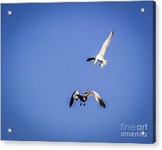 Playing Terns Acrylic Print