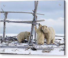 Playtime In The Arctic Acrylic Print