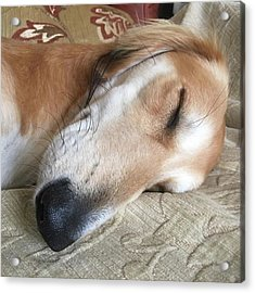 Please Be Quiet. Saluki Acrylic Print by John Edwards