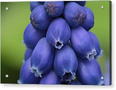 Pleasingly Plump Acrylic Print by Connie Handscomb