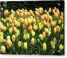 Acrylic Print featuring the photograph Plenty Of Tulips by Manuela Constantin