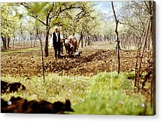 Ploughing In The Orchard Acrylic Print by Emanuel Tanjala