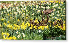 Plow In Field Of Daffodils Acrylic Print