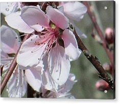 Plum Bloom Acrylic Print by Rosalie Klidies