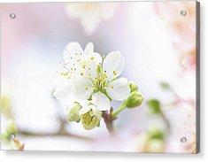 Plum Blossom Acrylic Print by Jacky Parker