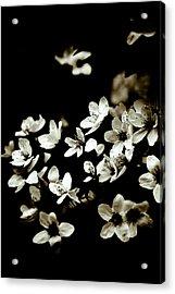 Plum Blossoms Acrylic Print by Frank Tschakert