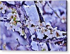 Plum Blossoms In Snow Acrylic Print