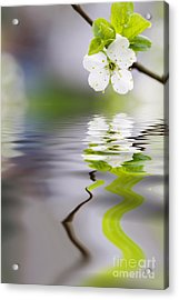 Plum Tree Blooming Acrylic Print by Kati Molin