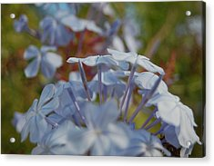 Plumbago Puffs Acrylic Print by Jean Booth