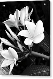 Plumeria Black And White Photograph Acrylic Print