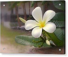 Plumeria Bloom Acrylic Print