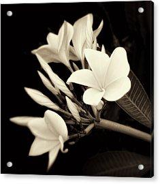 Plumeria Blossoms In Sepia  Acrylic Print