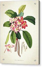 Plumeria Botanical Print Acrylic Print