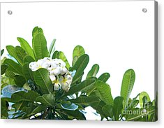 Acrylic Print featuring the photograph Plumeria by Cindy Garber Iverson