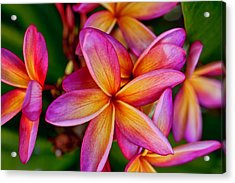 Plumeria Acrylic Print by Dan McManus