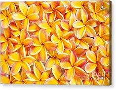 Plumeria Flowers Acrylic Print by Kyle Rothenborg - Printscapes