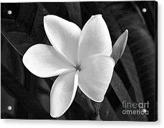 Plumeria In Monochrome Acrylic Print