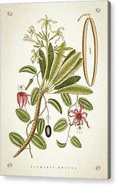 Plumeria Obtusa Botantical Print Acrylic Print