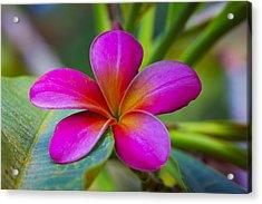 Plumeria On Leaf Acrylic Print