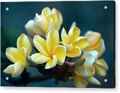 Plumerias Out Of The Blue Acrylic Print