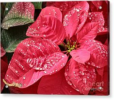 Poinsettia Christmas Dew Acrylic Print by Kathy Daxon