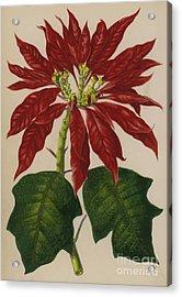 Poinsettia Acrylic Print by English School
