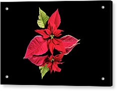 Poinsettia Reflection  Acrylic Print