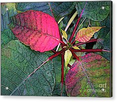 Poinsettia Watercolor Acrylic Print