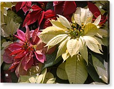 Poinsettias At Doi Tung Palace Acrylic Print by Anne Keiser