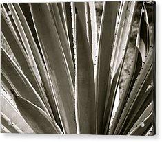 Pointy Plant Acrylic Print by Santiago Rodriguez
