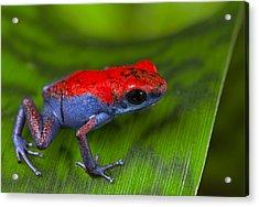 poison dart frog Escudo Acrylic Print by Dirk Ercken