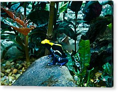 Poison Dart Frog Poised For Leap Acrylic Print