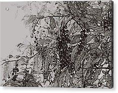 Pokeweed Acrylic Print