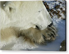 Polar Bear Close Up Acrylic Print