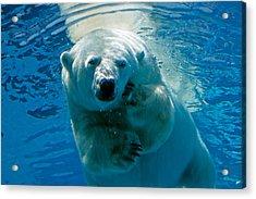 Acrylic Print featuring the photograph Polar Bear Contemplating Dinner by John Haldane