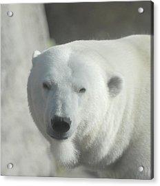 Polar Bear Acrylic Print by Curtis Gibson