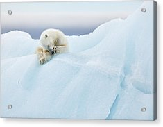 Polar Bear Grooming Acrylic Print by Joan Gil Raga