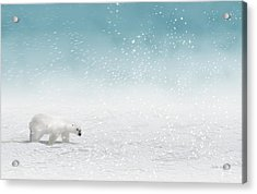 Polar Bear In Snow Acrylic Print