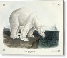 Polar Bear Acrylic Print by John James Audubon